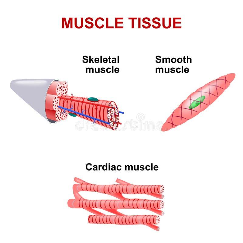 Typen des Muskelgewebes vektor abbildung. Illustration von medizin ...