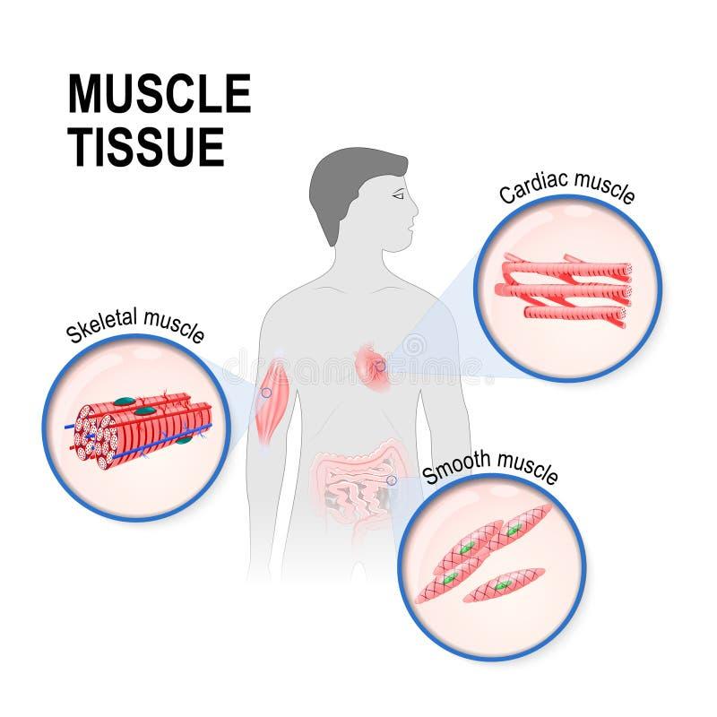 Typen des Muskelgewebes vektor abbildung. Illustration von ...