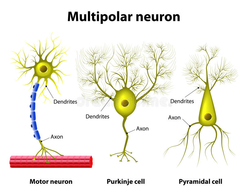 Typer av multipolar Neurons royaltyfri illustrationer