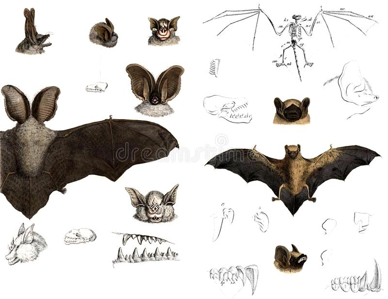 The Types And Anatomy Of Bats. Stock Illustration - Illustration of ...
