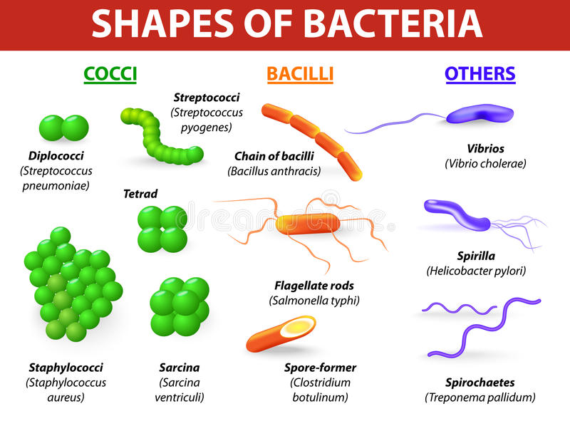 Types of bacteria. Common bacteria infecting human. vector illustration Bacteria are classified into 5 groups according to their basic shapes: spherical (cocci
