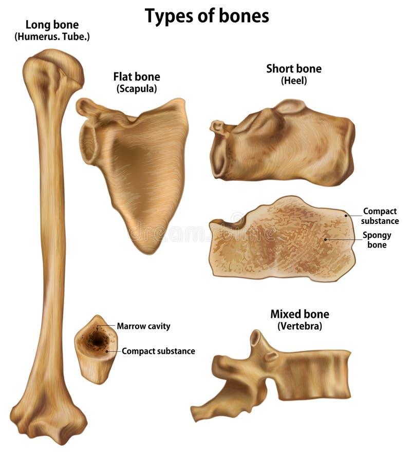 Types of bones. Long Humerus.Shirt Heel.Flat Scapula.Mixed Vertebra vector illustration