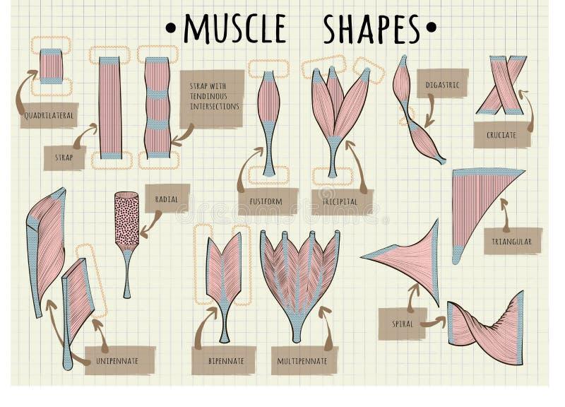Types de muscle humain illustration stock