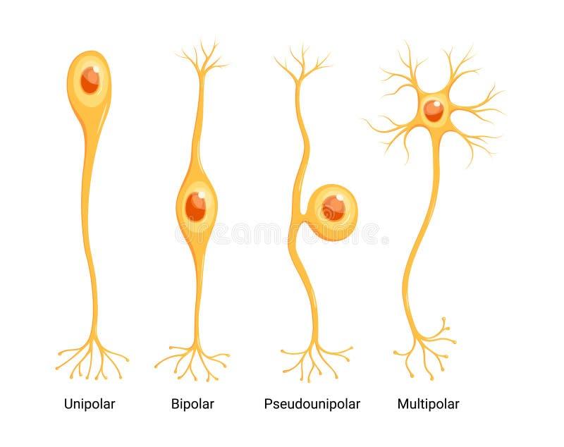 Types de neurones vectoriels isolés sur fond blanc illustration libre de droits