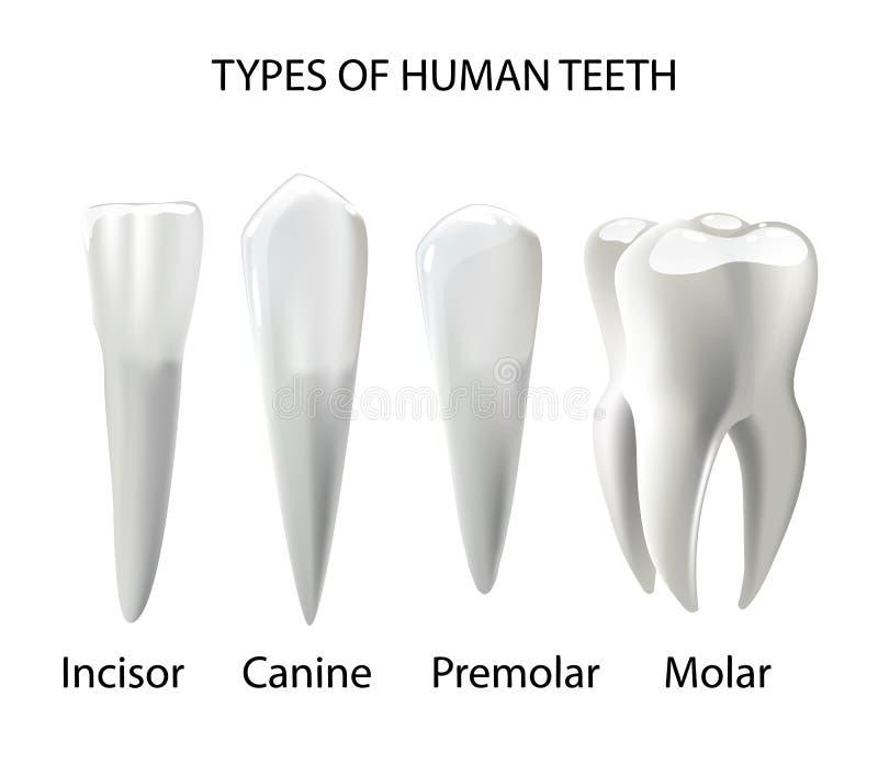 Types humain réaliste de dents de divers illustration stock