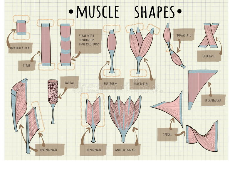 Types Of Human Muscle Stock Vector  Illustration Of Background