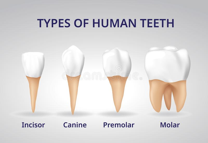 3d Human Jaw Bone Closed With Teeth Stock Illustration