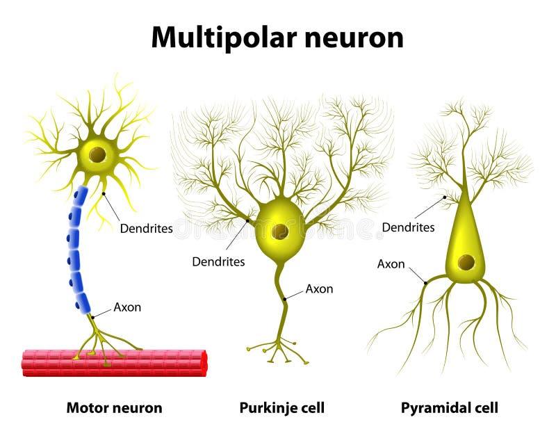 Types Of A Multipolar Neurons Stock Illustration - Illustration of ...