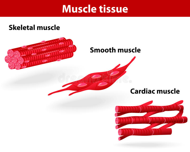 Types of muscle tissue stock illustration