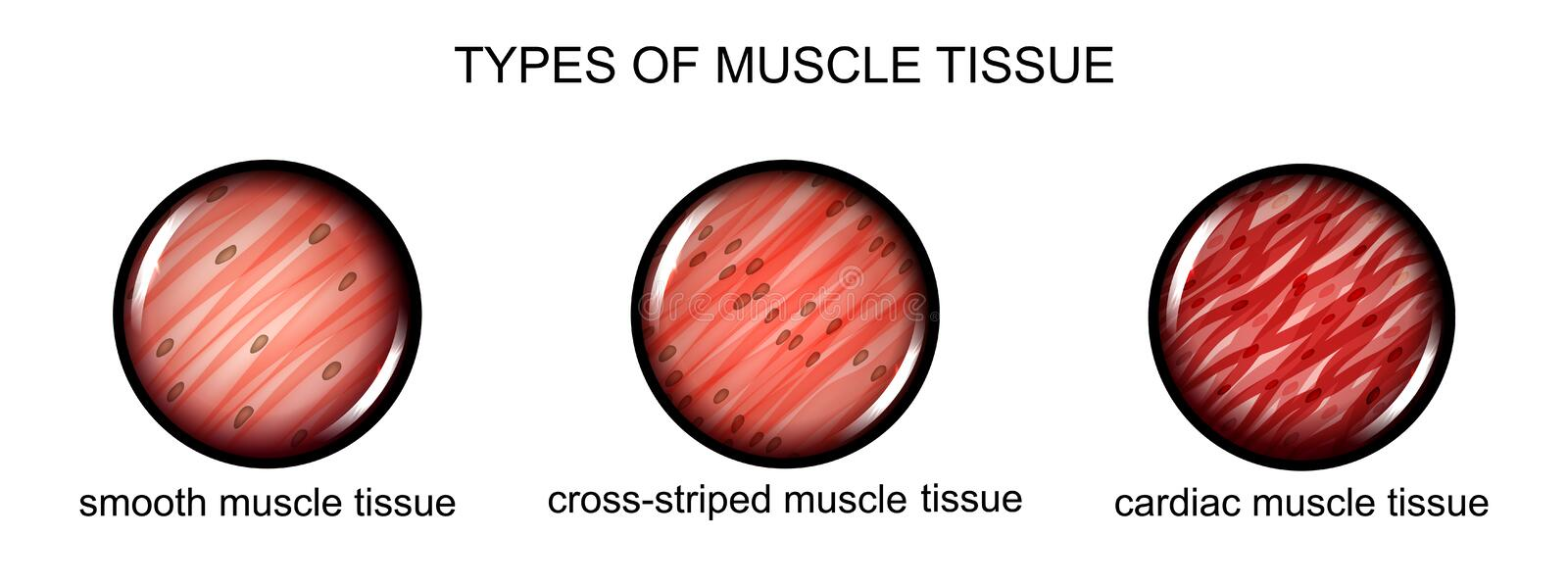 Types of muscle tissue vector illustration