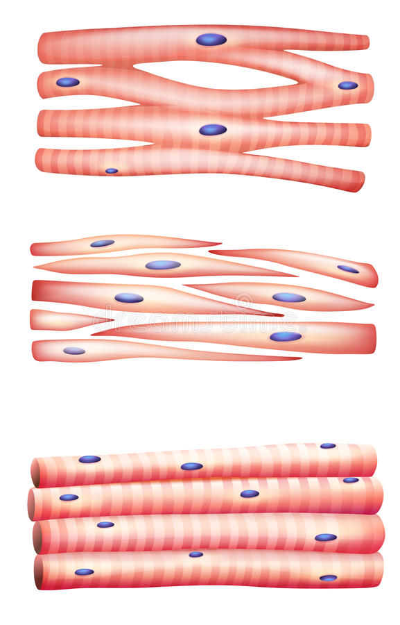 Types of muscles stock illustration