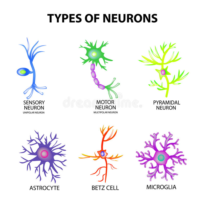 neuron types - Vatoz.atozdevelopment.co