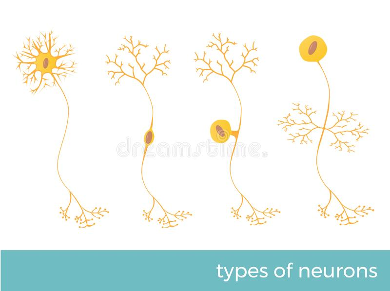 Types of neurons vector illustration stock image
