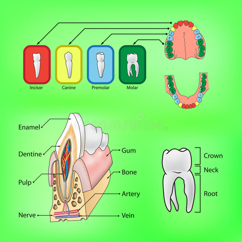 Types and structure of teeth vector illustration
