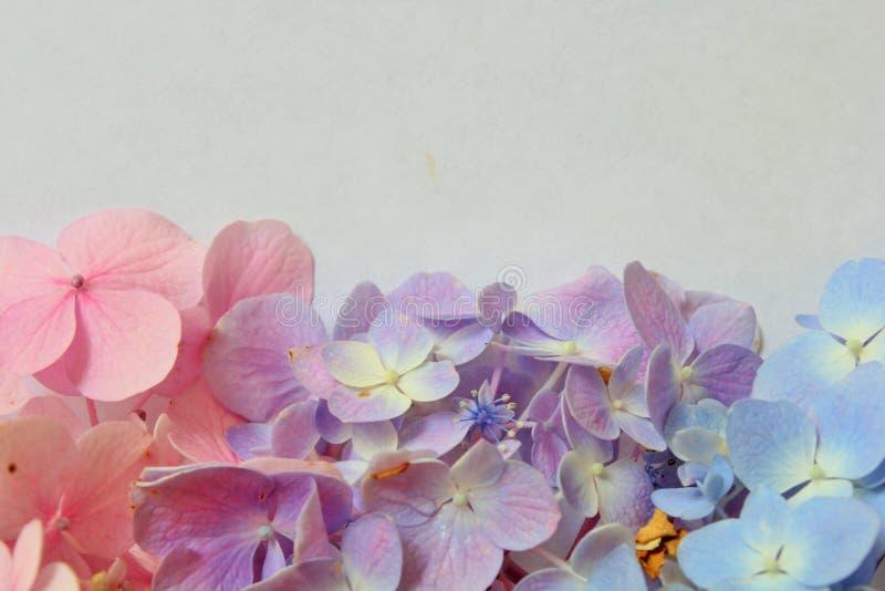3 types van hydrangea hortensia stock afbeeldingen