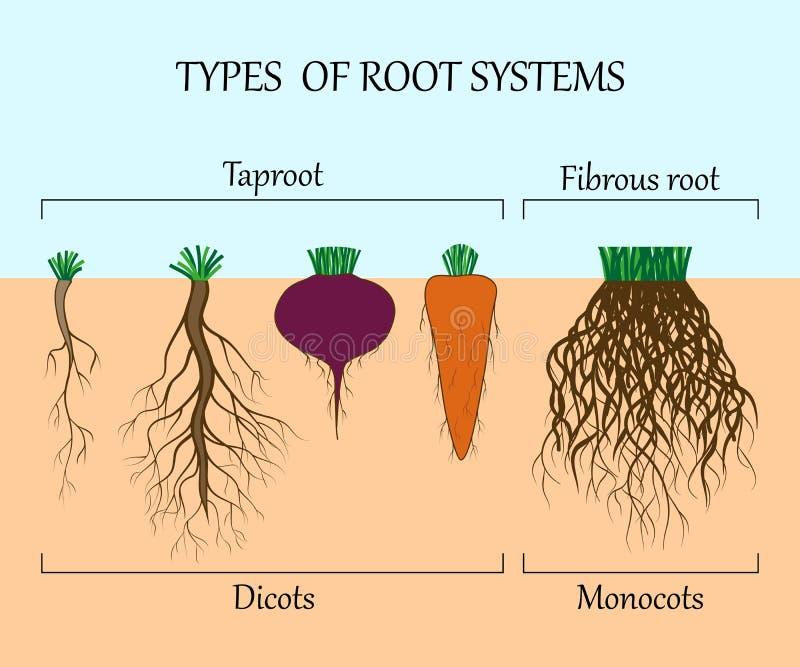 Types van wortelsystemen van installaties, monosots en dicots in de grond in besnoeiing, onderwijsaffiche, vectorillustratie vector illustratie