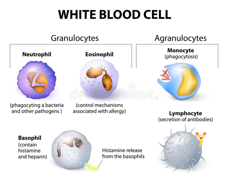 Types of white blood cells. Infographics. royalty free illustration