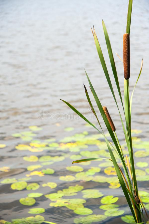 Typha angustifolia in the water in a lake with a boat in the background.  stock photography