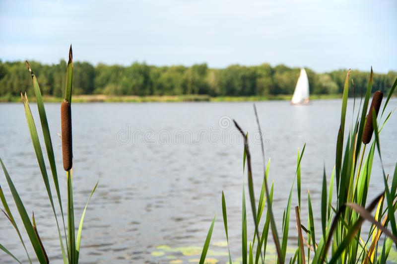 Typha angustifolia in the water in a lake with a boat in the background.  stock image
