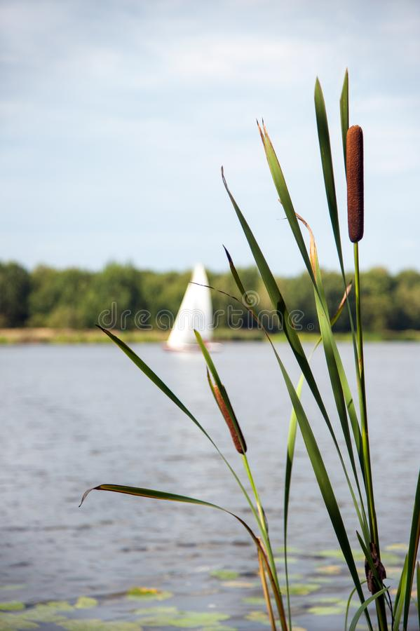 Typha angustifolia in the water in a lake with a boat in the background.  royalty free stock photos