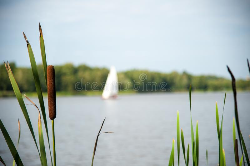 Typha angustifolia in the water in a lake with a boat in the background.  stock photos