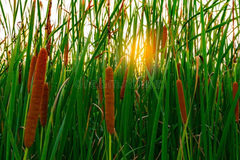 Typha angustifoliagebied Groen gras en bruine bloemen Cattails en zonlicht in de avond De installatie` s bladeren zijn vlak royalty-vrije stock foto's