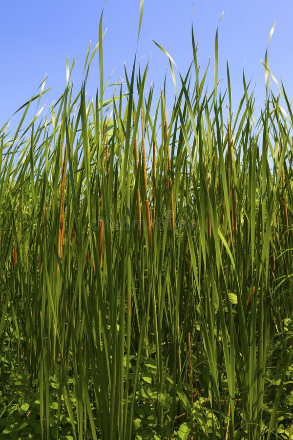 Download Typha Latifolia, Common Bulrush Royalty Free Stock Photography - Image: 36372037