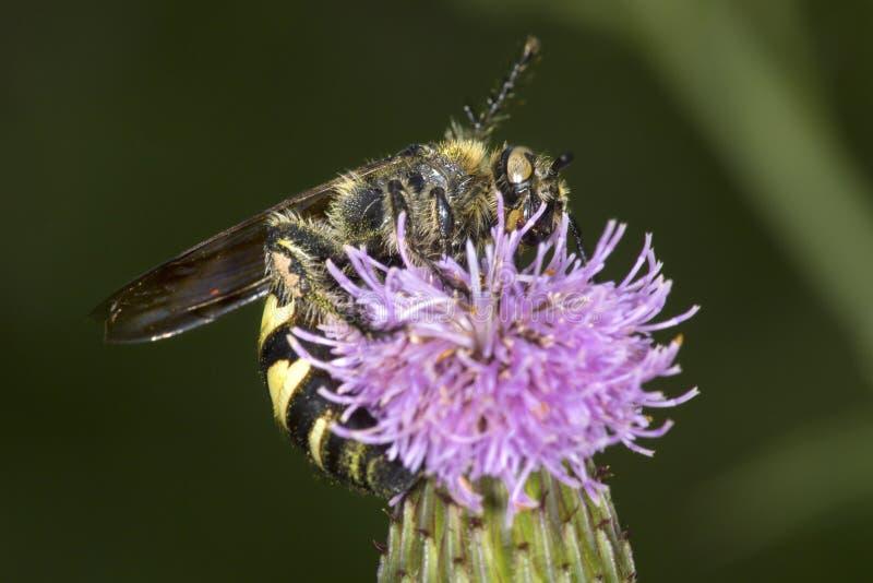 Typhiid geting som sonderar för nektar på en purpurfärgad tistelblomma royaltyfria foton