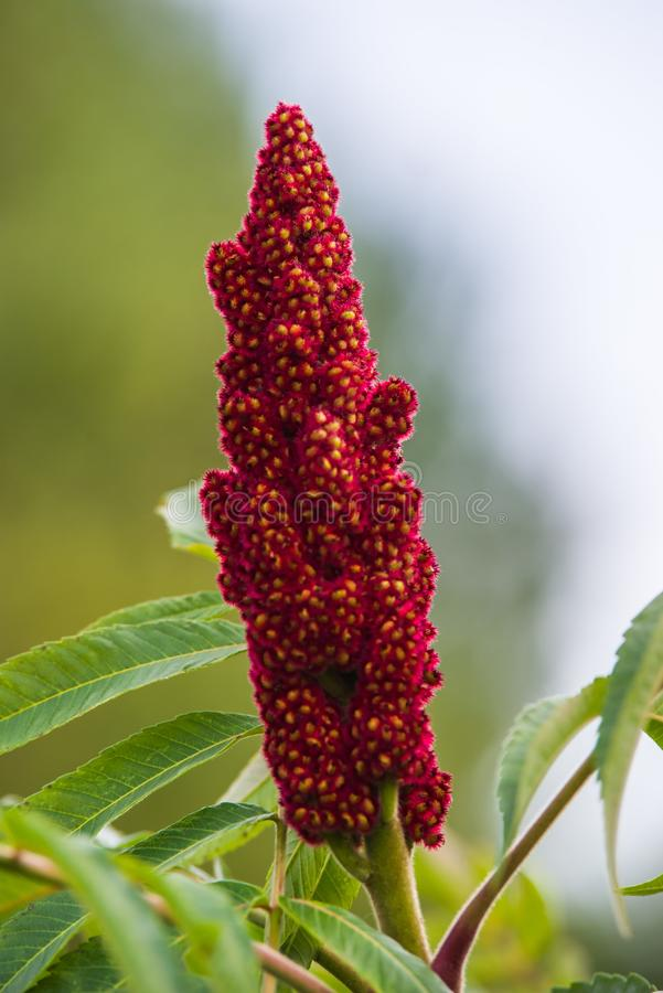 Typhina rouge de Rhus images stock
