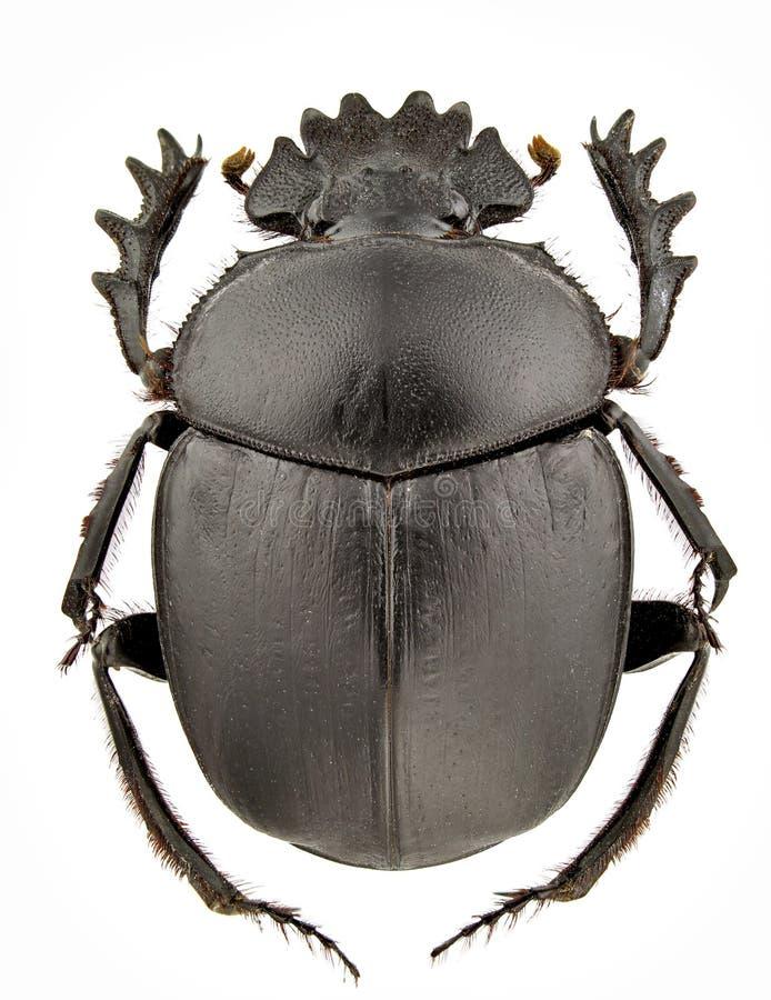 Typhon do Scarabaeus foto de stock