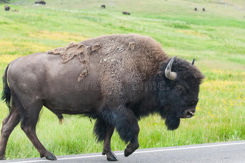 The typical American Bison on the road, Yellowstone National Par. The typical American Bison on the road in the Yellowstone National Park, USA royalty free stock photo
