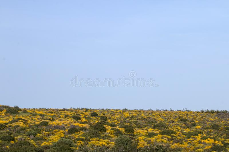 Landscape with ulex densus shrubs. Typical and beautiful landscape with ulex densus shrubs on the Sagres, Portugal region stock photography