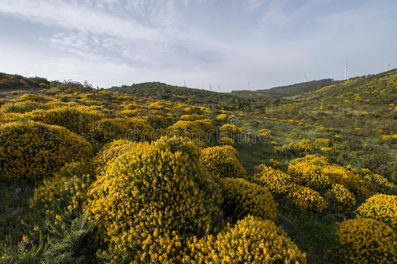 Landscape with ulex densus shrubs. royalty free stock photography