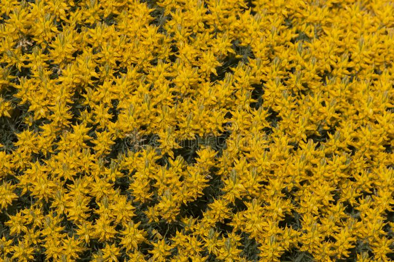 Yellow ulex densus shrubs. Typical and beautiful yellow ulex densus shrubs on Sagres, Portugal region stock photography