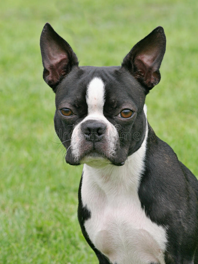 Typical Boston Terrier in the garden stock image