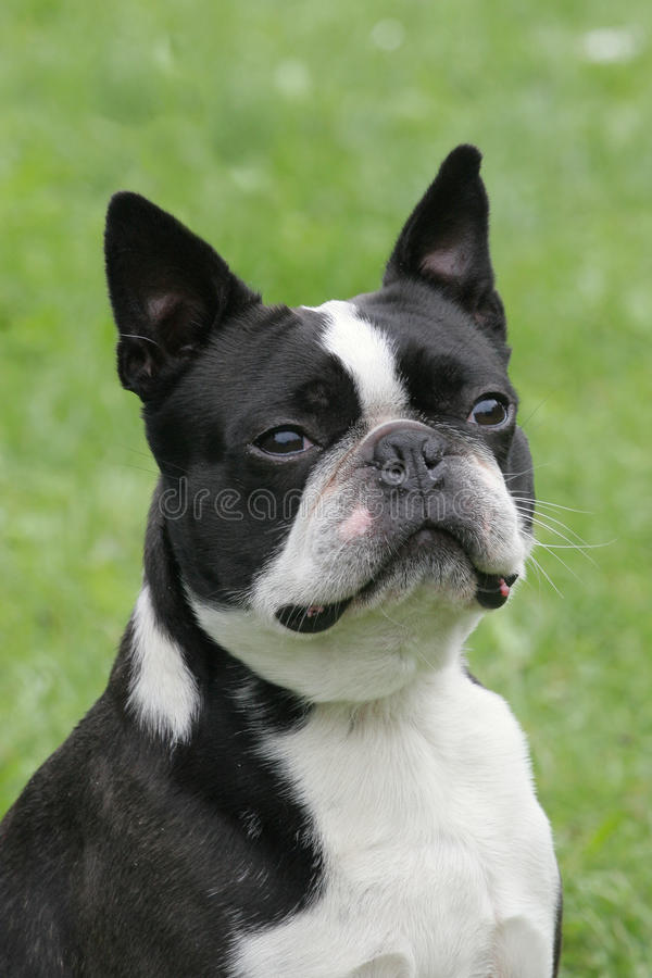 Typical Boston Terrier on a green grass lawn royalty free stock photos