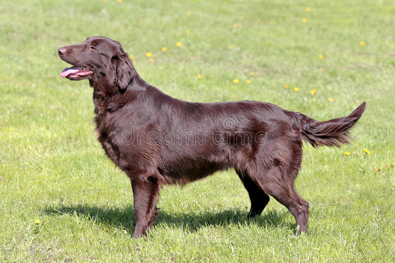 Typical Brown Flat Coated Retriever in the garden. Typical Brown Flat Coated Retriever in the spring garden stock photo