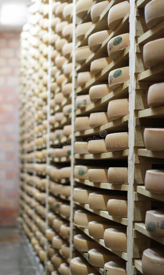Typical cow milk French Comte cheese wheels in the making. Aging on traditional spruce wooden aging shelves in big cold cellar, France stock photo