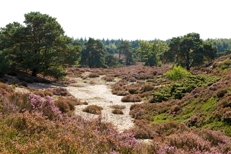 Typical Dutch dunes with heath royalty free stock image