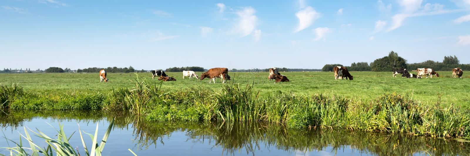 Typical Dutch panorama landscape with cows, grassland, trees, blue sky and white clouds royalty free stock photos