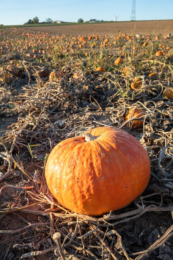 Typical field of pumpkin. An image of a typical field of pumpkin royalty free stock image