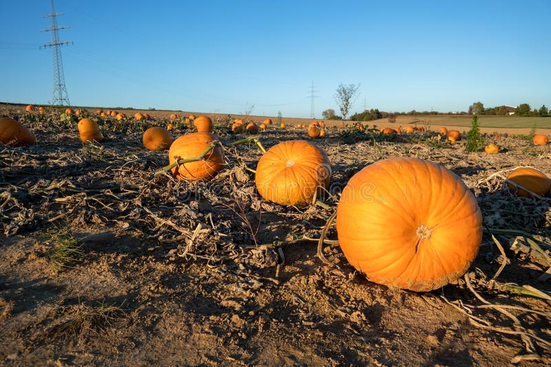 Typical field of pumpkin. An image of a typical field of pumpkin stock image