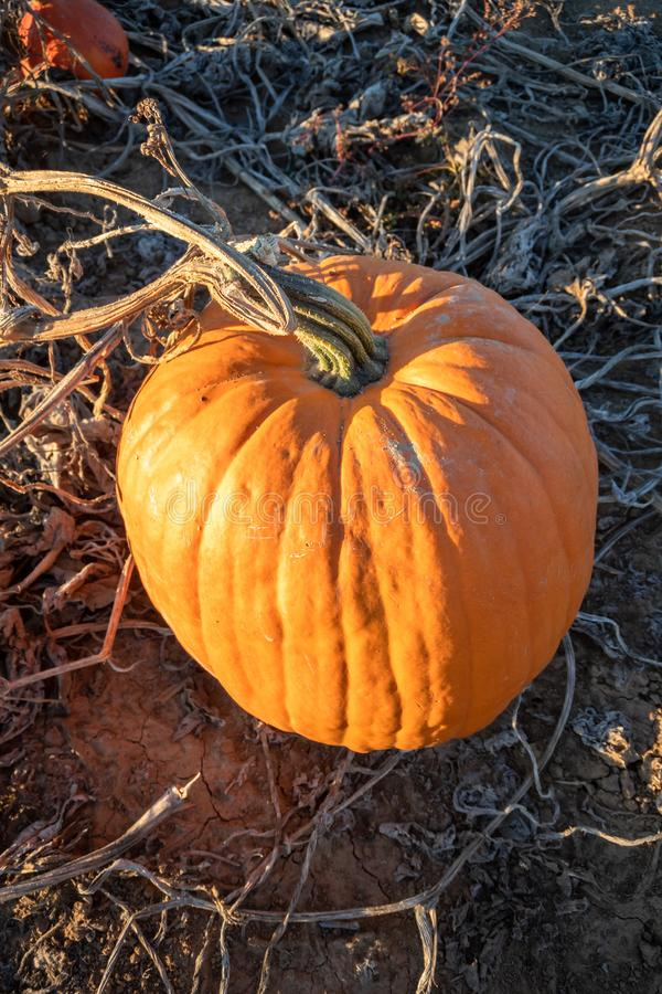 Typical field of pumpkin. An image of a typical field of pumpkin stock photo