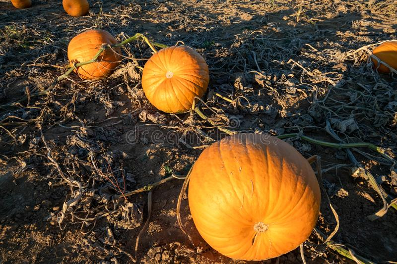 Typical field of pumpkin. An image of a typical field of pumpkin stock photography