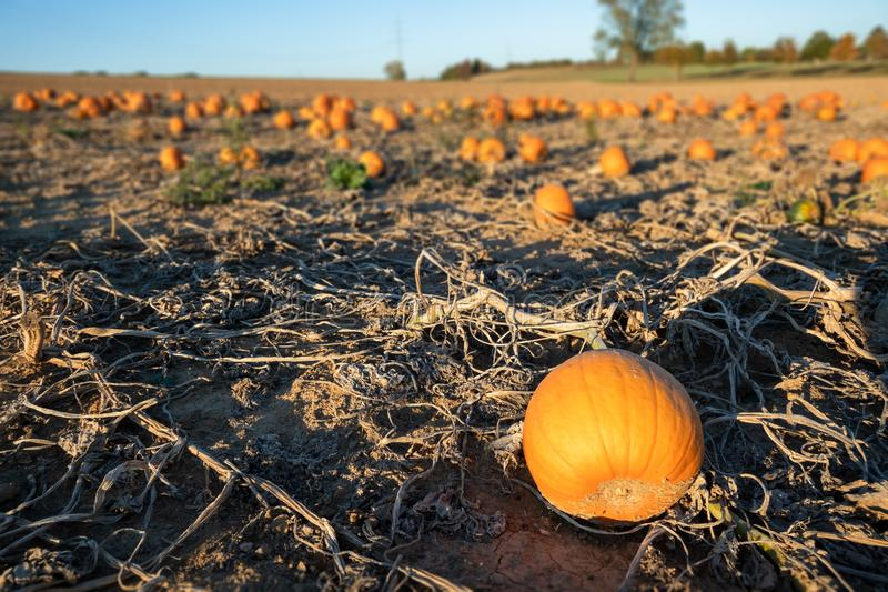 Typical field of pumpkin. An image of a typical field of pumpkin royalty free stock images