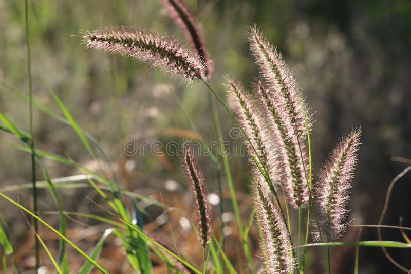 Typical grass in meadows of Namibia. Grass present in Namibia meadows photographed against the sun royalty free stock images