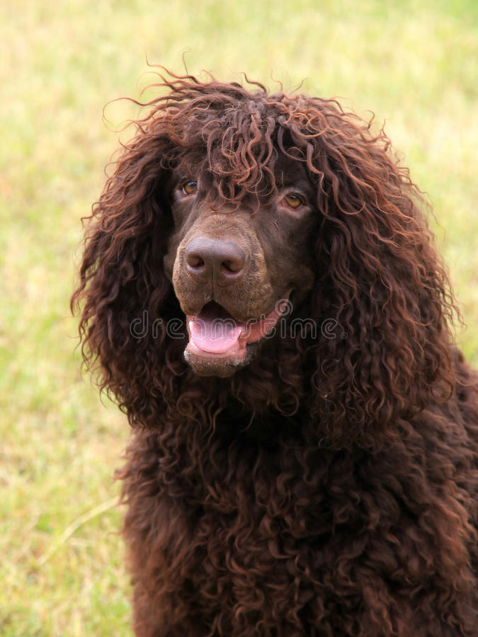 Free Typical Irish Water Spaniel On A Green Grass Lawn Stock Photography - 70750462