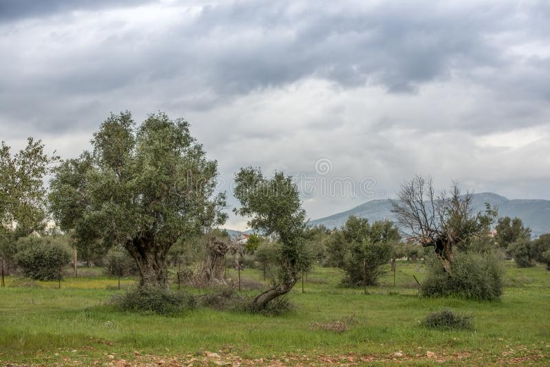 Typical Mediterranean Landscape.Three Olive Trees in a row and some others around. Greece.  stock image
