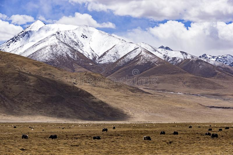 Typical mountain landscape with tibetan yaks - Tibet stock images
