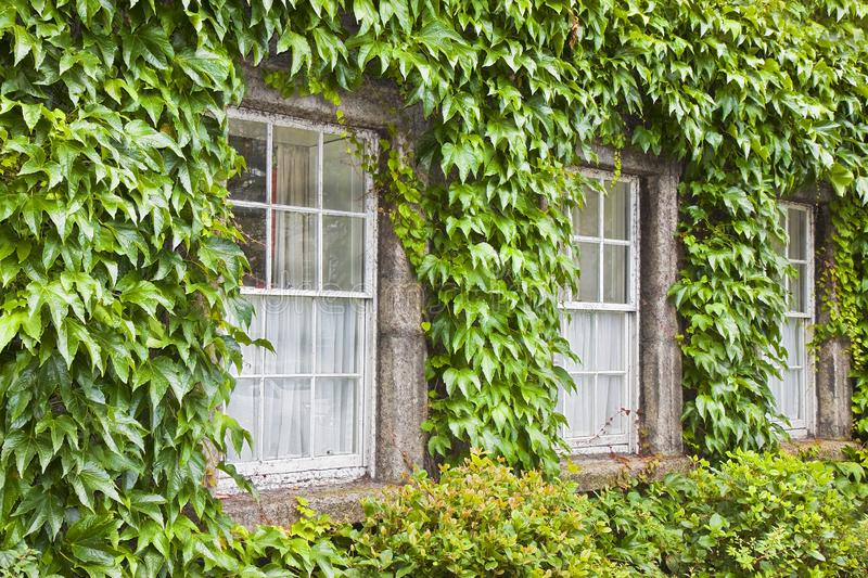 Typical old irish window with wall covered in ivy Ireland stock photos
